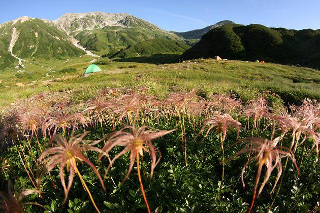 雷鳥沢テン場のチングルマ花穂